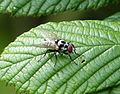 Anthomya species. Anthomyiidae - Flickr - gailhampshire.jpg