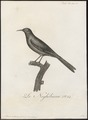 Anthornis melanura - 1802 - Print - Iconographia Zoologica - Special Collections University of Amsterdam - UBA01 IZ19200039.tif