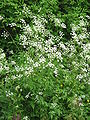 Anthriscus sylvestris001.jpg