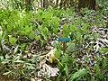 Anthurium andraeanum 2.jpg