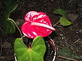 Anthurium andraeanum warden red-yercud-salem-India.JPG