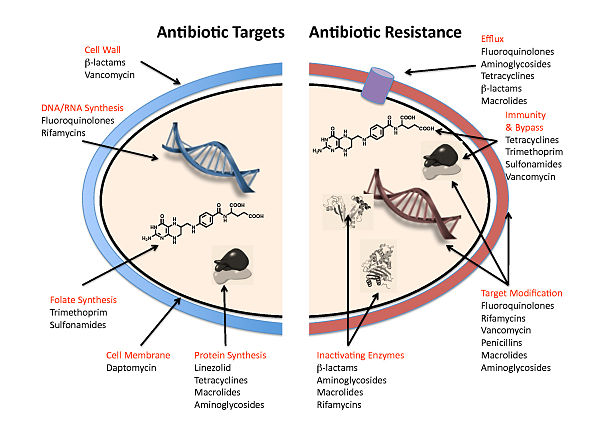 antibiotic resistance reversal research papers The research paper factory  antibiotic resistant bacteria occurs when strains of bacteria in us humans start to become resistant to the antibiotic we take due to.