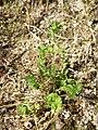 Aphanes australis sl18.jpg