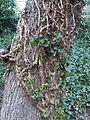 Apiales - Hedera helix - Kew 2.jpg