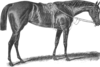 Drawing of Thoroughbred mare Apology by an unknown artist
