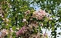Apple-tree blossoms 2017 G1.jpg