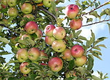 Apples on tree 2011 G1.jpg