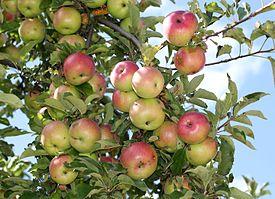 Afbeeldingsresultaat voor appel aan de boom