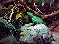 Aquarium of Cattolica - Basiliscus (2).jpg