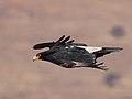 Aquila verreauxii01.jpg