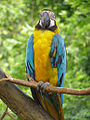 Ara ararauna -Melaka Zoo-8a.jpg