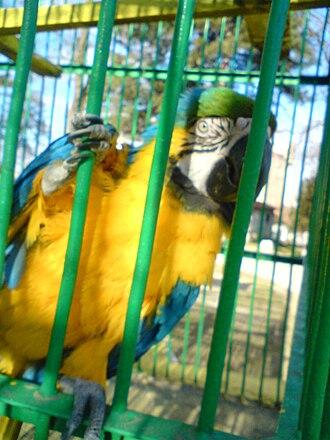 Bitola Zoo - Image: Ara ararauna at Bitola Zoo 4a