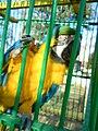 Ara ararauna at Bitola Zoo-4a.jpg
