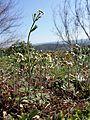 Arabidopsis thaliana sl10.jpg
