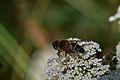 Araignées, insectes et fleurs de la forêt de Moulière (Les Agobis) (28942581771).jpg