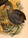 From The Birds of Celebes and the neighbouring islands, 1898