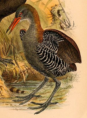 Snoring rail - From The Birds of Celebes and the neighbouring islands, 1898