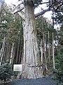 Arasawa-jinjya Sugi.jpg