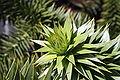 Araucaria araucana foliage.JPG