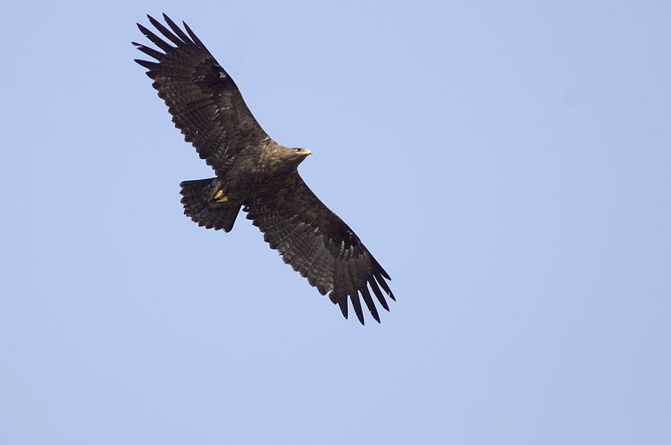 Aravalli BiodivPark Gurgaon DSC9208 steppe eagle