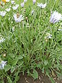 Arctotis grandis 'Blue-eyed African daisy' (Compositae) plant.JPG