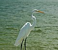 Ardea alba egretta (great egret) (Cayo Costa Island, Florida, USA) 4 (25310756193).jpg
