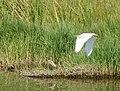 Ardeola ralloides Squacco Heron (33107279755).jpg