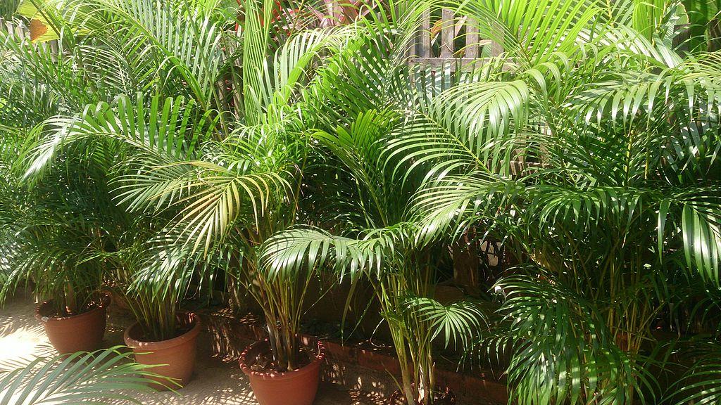 Areca palms in pots