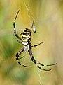 Argiope bruenichii 004 (4958589576).jpg