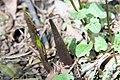 Arisaema triphyllum 20zz.jpg