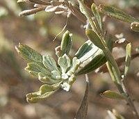 Artemisia bigelovii 3