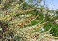 Category artemisia californica wikimedia commons - Manhattan beach botanical garden ...