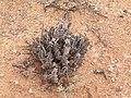 Asclepiadoideae-PICT2480.jpg