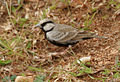 Ashy-crowned Sparrow Lark (Eremopterix grisea) W IMG 0940.jpg