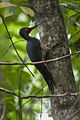 Ashy Woodpecker - Sulawesi MG 4890- (16224607767).jpg