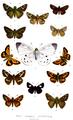 AsiaticHesperiidae1878.png
