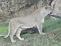 Asiatic Lioness 20.jpg