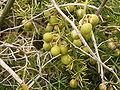 Asparagus umbellatus (La Fajana) 04 ies.jpg