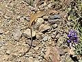 Aspidoscelis tigris on Mount Diablo, May 2019.JPG