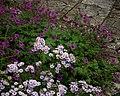 Aster ericoides Yvette Richardson ^ Geranium Anne Folkard (^) - Flickr - peganum.jpg
