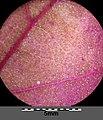 Atriplex hortensis sl23.jpg