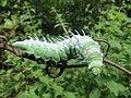 Attacus atlas - Atlas moth caterpillar at Mayyil (9).jpg