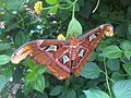 Attacus atlas - NHM 4.jpg
