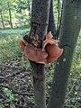 Auricularia auricula-judae Wytham.jpg