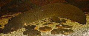 Australischer Lungenfisch (Neoceratodus forsteri)