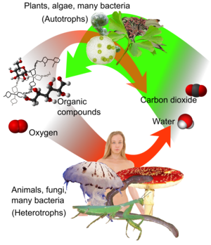 Cellular respiration - Aerobic respiration (red arrows) is the main means by which both fungi and animals utilize chemical energy in the form of organic compounds that were previously created through photosynthesis (green arrow).
