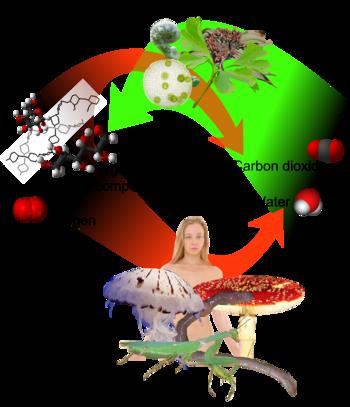 English: Cycle between autotrophs and heterotr...