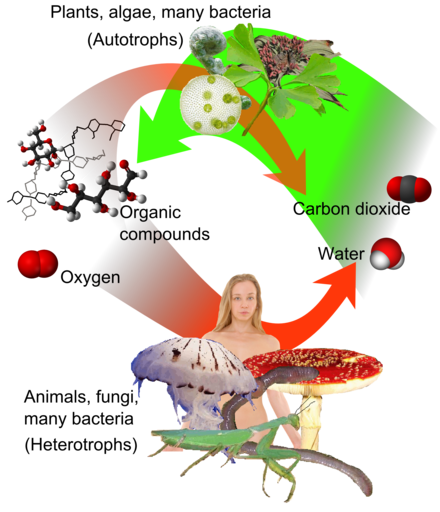 Overview of photosynthesis and respiration. Carbon dioxide (at right), together with water, form oxygen and organic compounds (at left) by photosynthesis, which can be respired to water and (CO 2). Auto-and heterotrophs.png