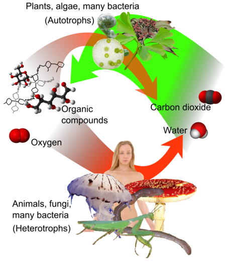 Correlation between the carbon cycle and formation of organic compounds. In plants, carbon dioxide formed by carbon fixation can join with water in photosynthesis (green) to form organic compounds, which can be used and further converted by both plants and animals. Auto-and heterotrophs.png