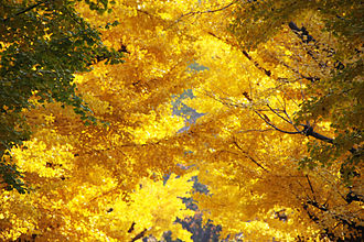 Gradation (art) - A photograph emphasizing gradation in the colour of autumn leaves in Yokoami, Tokyo, Japan.